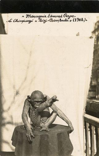 Zizi Bamboula l'homme-singe de la ménagerie PEZON.